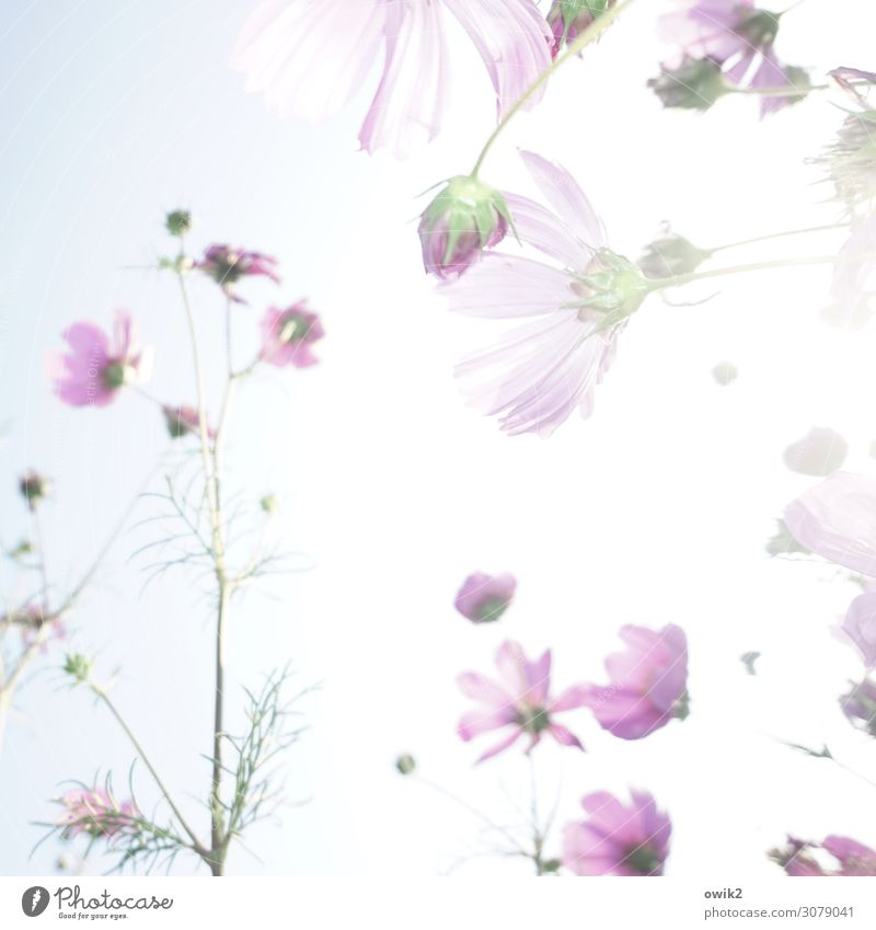 floral pattern Environment Nature Landscape Plant Cloudless sky Sun Flower Blossom Blossom leave Cosmos Garden Meadow Breathe Movement Glittering Illuminate