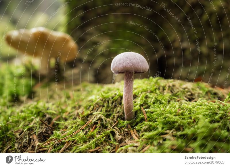 Mushrooms in the forest Relaxation Hiking Garden Nature Plant Forest Walking Yellow autumn folio mushroom ground green brown season case red Background picture