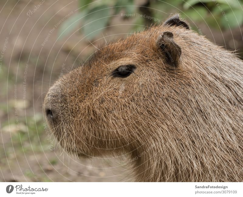 Head of a capybara Garden Zoo Nature Animal Park Wild animal Animal face Pelt Petting zoo 1 Observe Brown Love of animals Capybara wildlife head rodent