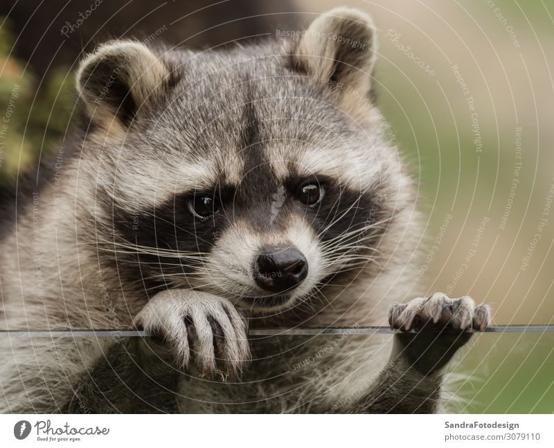 A sweet little racoon Style Joy Zoo Nature Animal Park Pelt Petting zoo 1 Observe Feeding Looking Cuddly Love of animals mammal For face wildlife Wild cute nose
