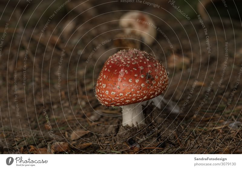 Mushrooms in the forest Eating Relaxation Trip Garden Environment Nature Plant Earth Forest Yellow autumn folio mushroom ground green brown season case red