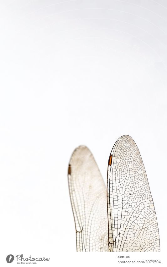 Dragonfly wing with wing painting Animal Dead animal Wing Dragonfly wings Insect 1 Flying Brown White Transparent veining wing field Background picture xenias