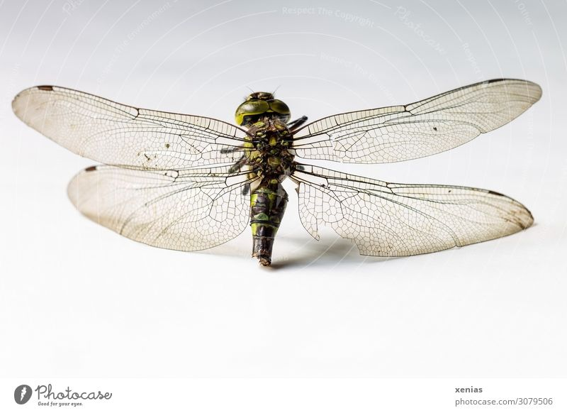 vial residue Animal Summer Autumn Wild animal Dead animal Wing Dragonfly Insect Dragonfly wings 1 Death cadaverous die of insects Subdued colour Studio shot