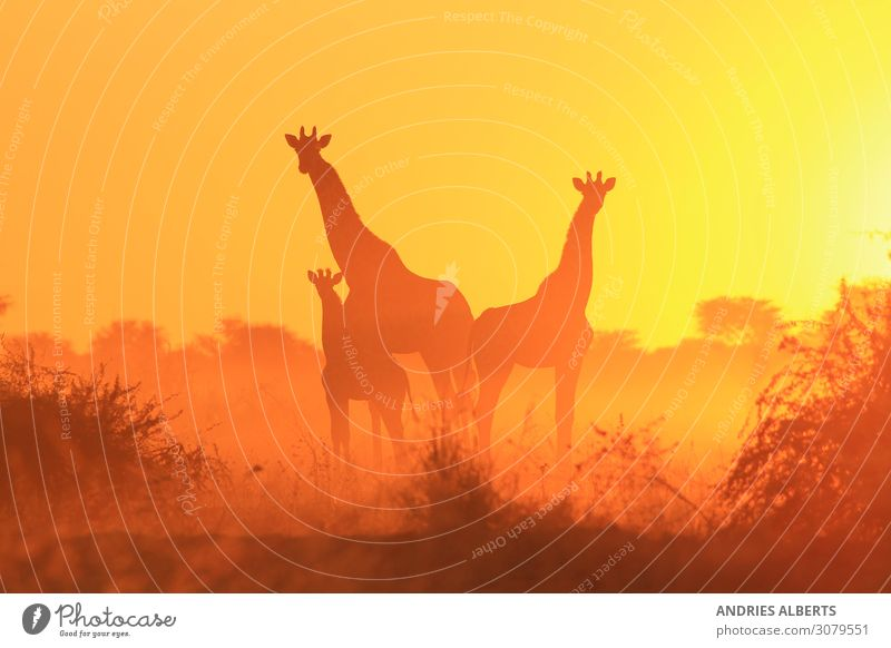 Giraffe Silhouette - Family of Freedom Animal Wild animal 3 Group of animals Herd Baby animal Animal family Listening Authentic Exceptional Famousness Elegant