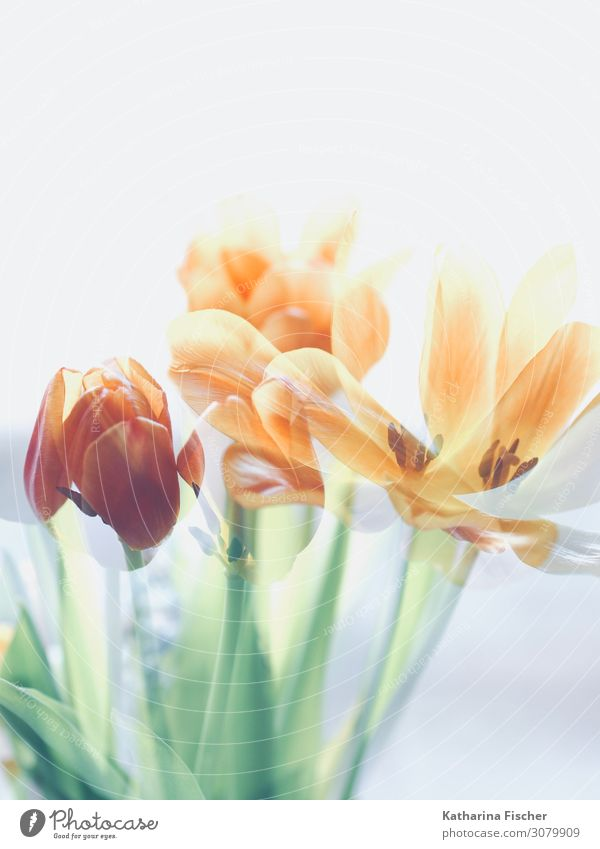 Tulips double exposure Nature Plant Spring Summer Autumn Winter Flower Bouquet Blossoming Illuminate Yellow Green Orange Pink Red Turquoise White Picturesque