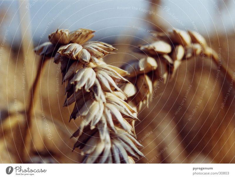 Yellow Field Nutrition Grain Appetite Grain