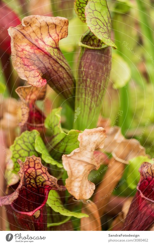 Sarracenia, carnivorous plant Nature Plant Blossoming Growth Beautiful pitcher Planning flower fly pretty blossom species insectivorous swamp sunshine Orange