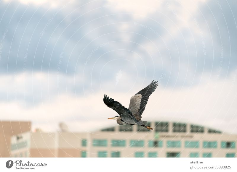 grey heron Wild animal 1 Animal Flying Grey heron Heron Building Clouds Wing Animal portrait Colour photo Exterior shot Copy Space left Copy Space right