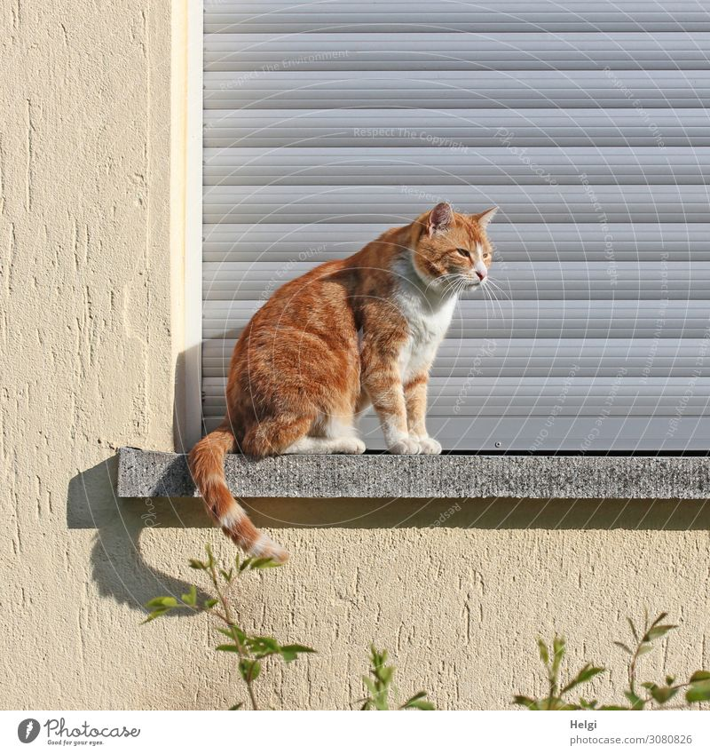 red tabby cat sitting outside on a windowsill in the sunshine Plant Small Town House (Residential Structure) Wall (barrier) Wall (building) Window