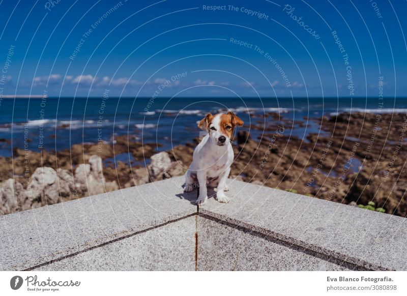 cute small jack russell terrier sitting outdoors looking at the camera. Ocean and rocks background on a sunny day. Pets outdoors and lifestyle. Summer concept