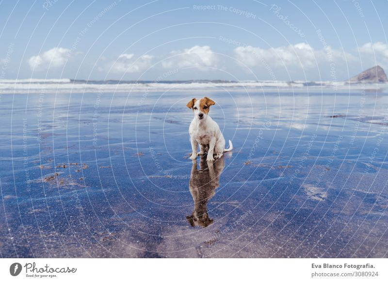 cute small jack russell terrier dog at the beach looking at the camera. Reflection on water sea. Pets outdoors and lifestyle. Summer concept Sunset adoption Dog