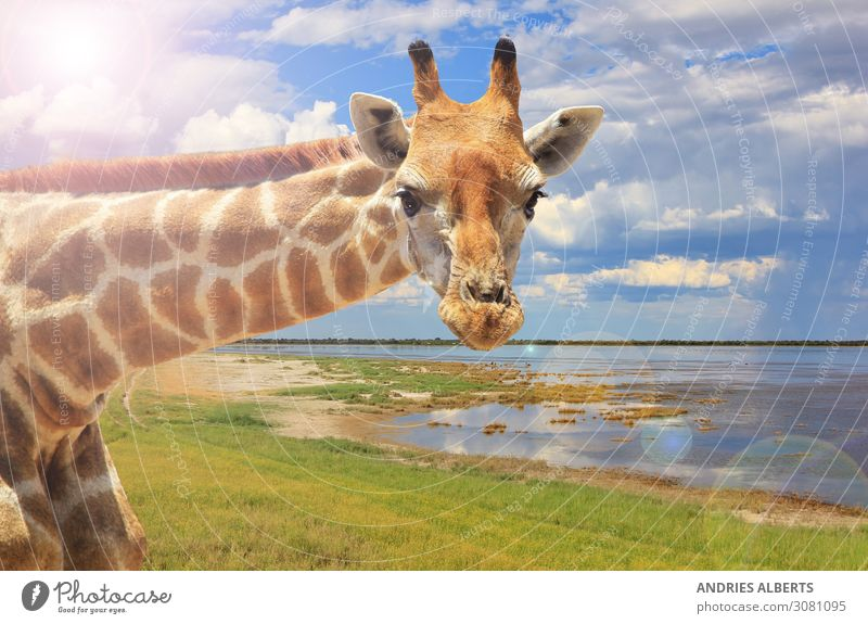 Giraffe Portrait - Looking Bright Sky Vacation & Travel Nature Summer Water Landscape Clouds Animal Far-off places Life Environment Tourism Freedom Earth Trip
