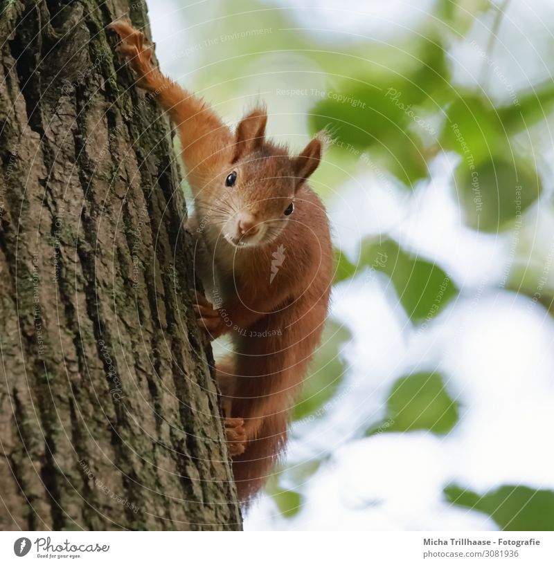 Curious squirrel on tree trunk Nature Animal Sky Sunlight Beautiful weather Tree Leaf Tree trunk Wild animal Animal face Pelt Claw Squirrel Rodent Head Eyes