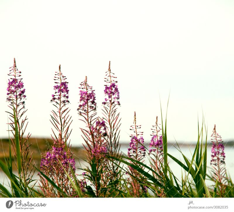 flowers at the sea Nature Landscape Plant Summer Flower Grass Wild plant Coast Relaxation Stand Growth Authentic Large Small Maritime Natural Beautiful Green