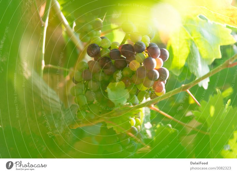 grape in the bio vineyard Fruit Nutrition Nature Landscape Plant Autumn Drop Growth Fresh Juicy Green Tradition agriculture background Berries branch bunch