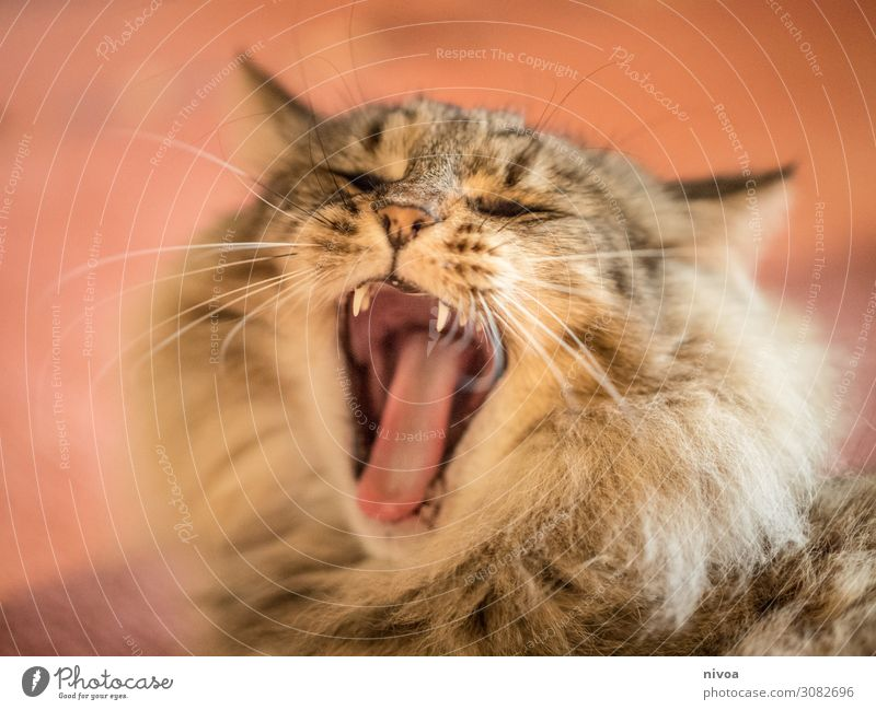 Yawning cat Beautiful Leisure and hobbies Playing House (Residential Structure) Carpet Animal Pet Cat Animal face Norwegian Forest Cat Cat's tongue 1 To enjoy