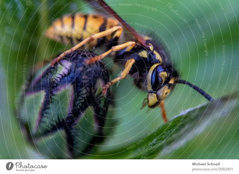 wasp Plant Blossom Bud Animal Wild animal Wasps 1 Natural Yellow Green Black Voracious Threat Insect Pierce Colour photo Macro (Extreme close-up) Deserted Day
