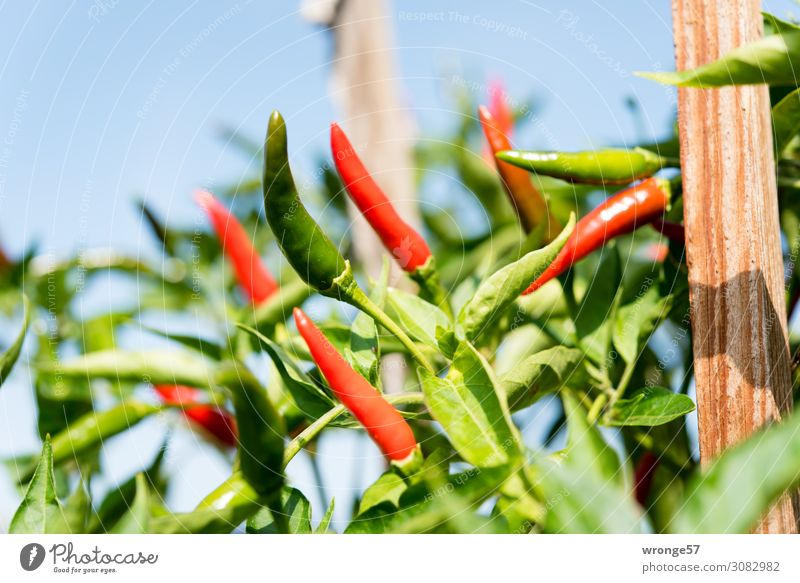 Carefully hot fiery pods. Food Vegetable Chili Organic produce Vegetarian diet Growth Exotic Green Red Pepper Tangy Fiery Balcony plant Gardener Colour photo