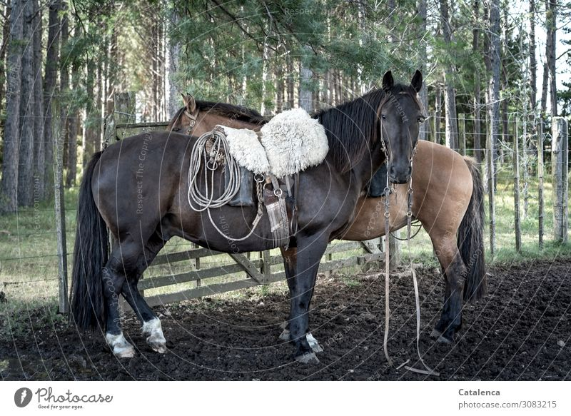 La Oscura Ride Gaucho Nature Plant Animal Summer Tree Grass Eucalyptus tree Pasture Farm animal Horse 2 Fence post Saddle Observe Stand Beautiful Strong Brown
