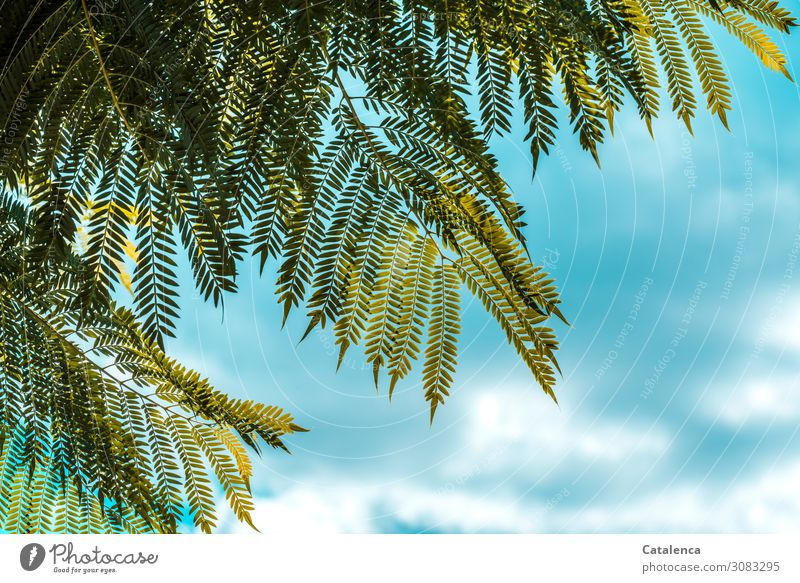Finely feathered Nature Plant Sky Clouds Summer Beautiful weather Tree Leaf Jacaranda Bignoniaceae Garden Virgin forest Hang Growth Uniqueness Blue Green