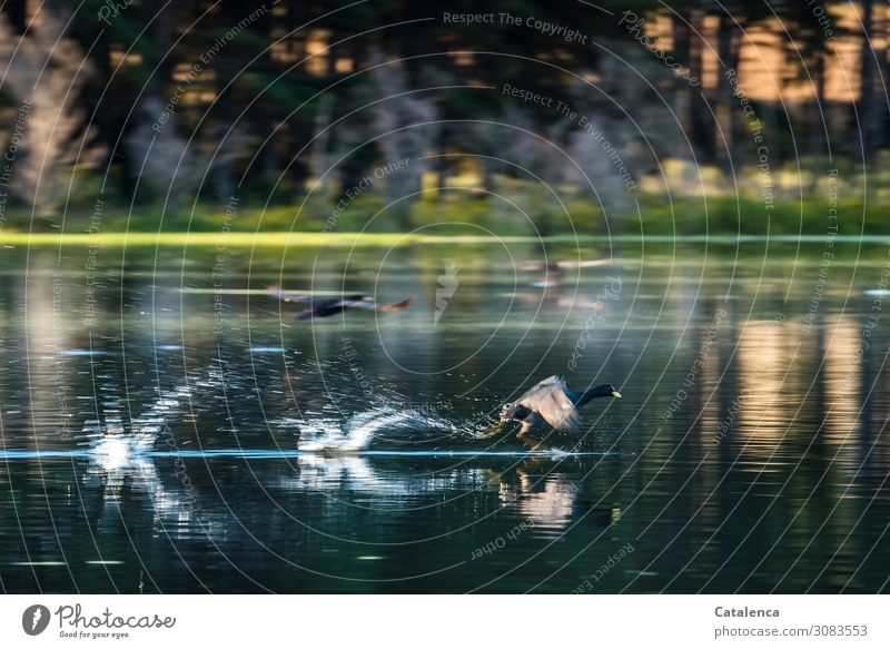 Fast Nature Landscape Plant Animal Water Drops of water Summer Beautiful weather Tree Grass Aquatic plant Forest Lakeside Wild animal Bird Coot 2 Flying Running