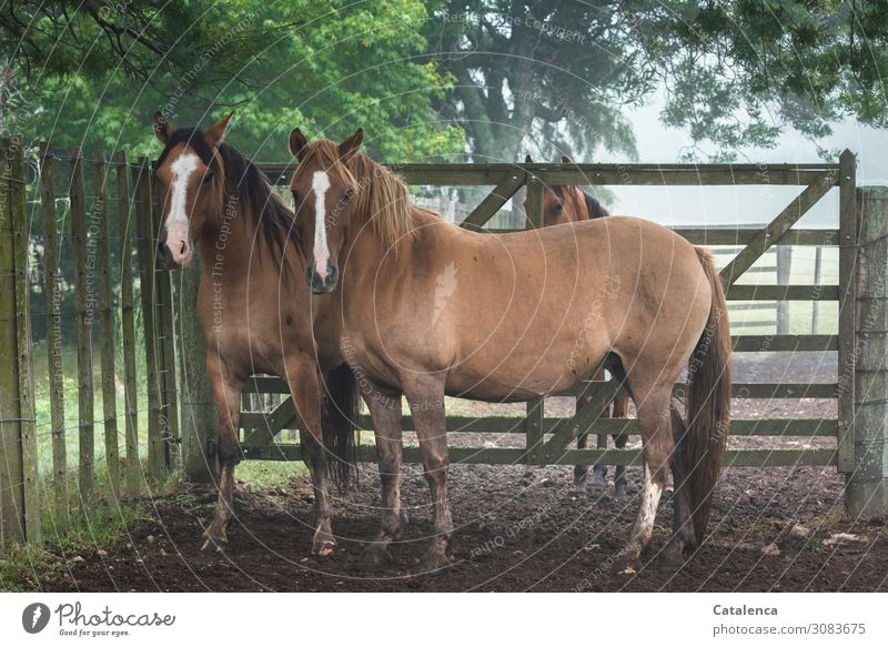 Three horses in the paddock look expectantly into the camera Nature flora fauna Animal Farm animal Horse Observe Stand pale Fence Goal Gate Plant Tree leaves