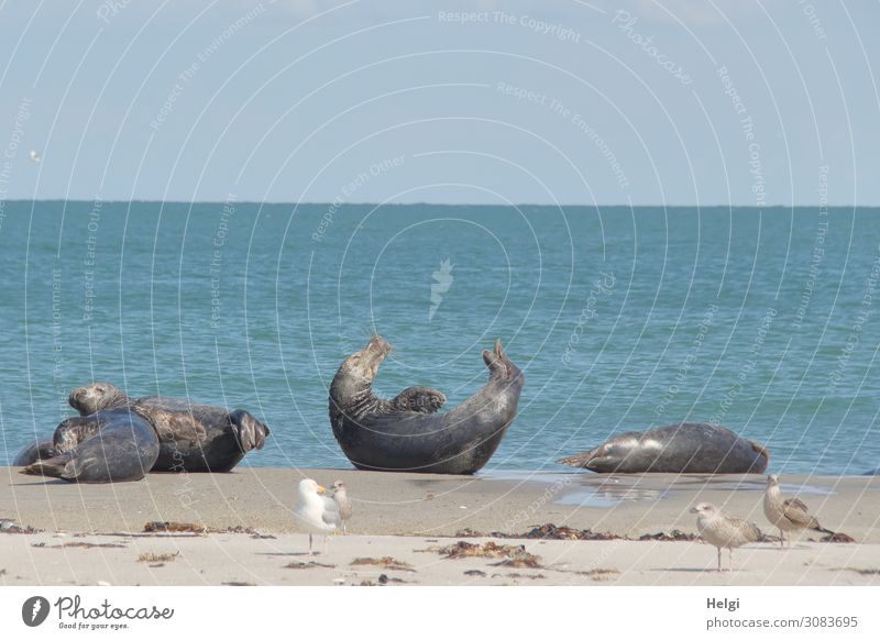 four grey seals and four seagulls on the beach on the dune of Helgoland in good weather Environment Nature Landscape Animal Water Summer Beautiful weather Beach