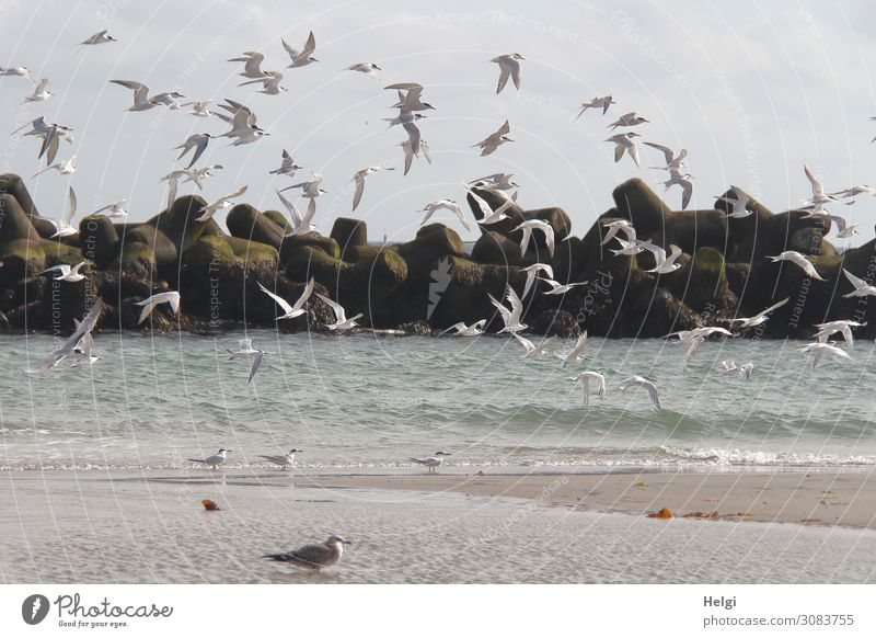 a flock of terns flies on the beach on the dune of Helgoland Environment Nature Animal Water Sky Summer Beautiful weather Beach North Sea Island Wild animal