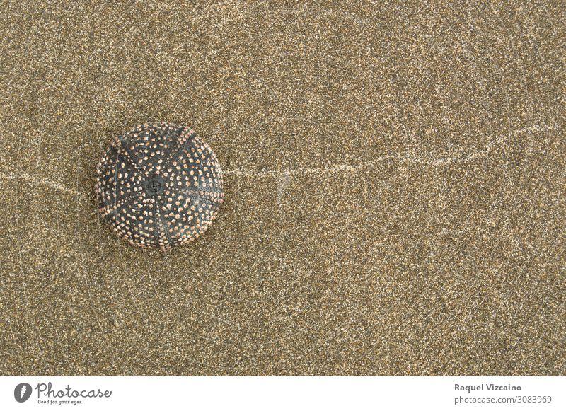 Sea urchin shell Sand Summer Coast erizo de mar 1 Animal Natural Brown Self Control Colour photo Exterior shot Copy Space right Sunlight Shallow depth of field