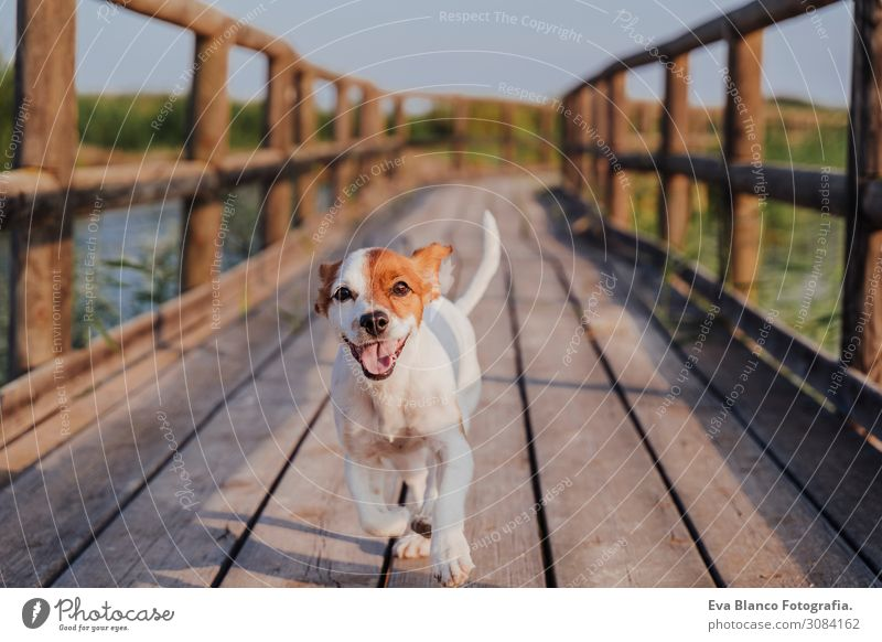 happy jack russell dog running on a wood pier at sunset Sky Vacation & Travel Nature Dog Summer Plant Green White Animal Joy Lifestyle Autumn Love Spring Funny