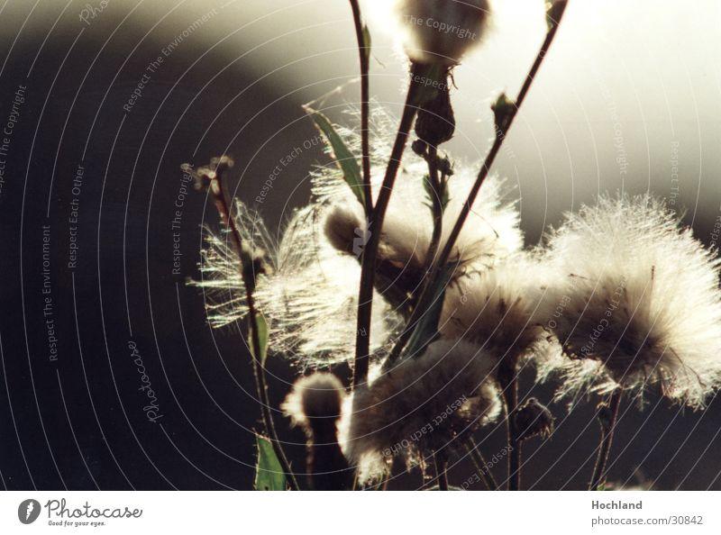 Moody Stalk Seed Thistle