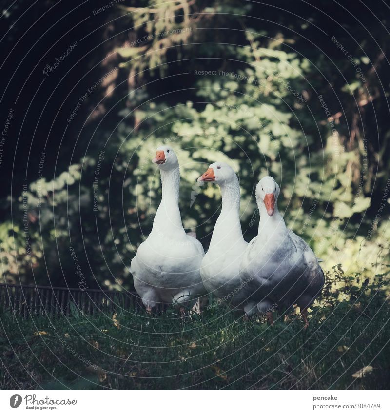 Valuable watchdogs. Beautiful weather Garden Park Meadow Forest Animal Pet Bird 3 Observe Goose Watchfulness Fairy tale Colour photo Subdued colour