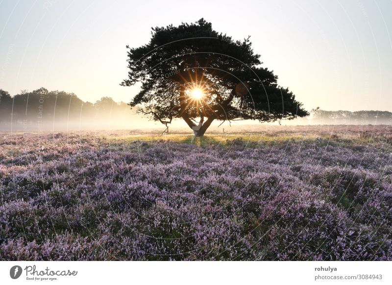 morning sunshine through pine tree in mist Summer Sun Nature Landscape Plant Sky Beautiful weather Fog Tree Flower Growth Wild Yellow Gold Pink Mountain heather