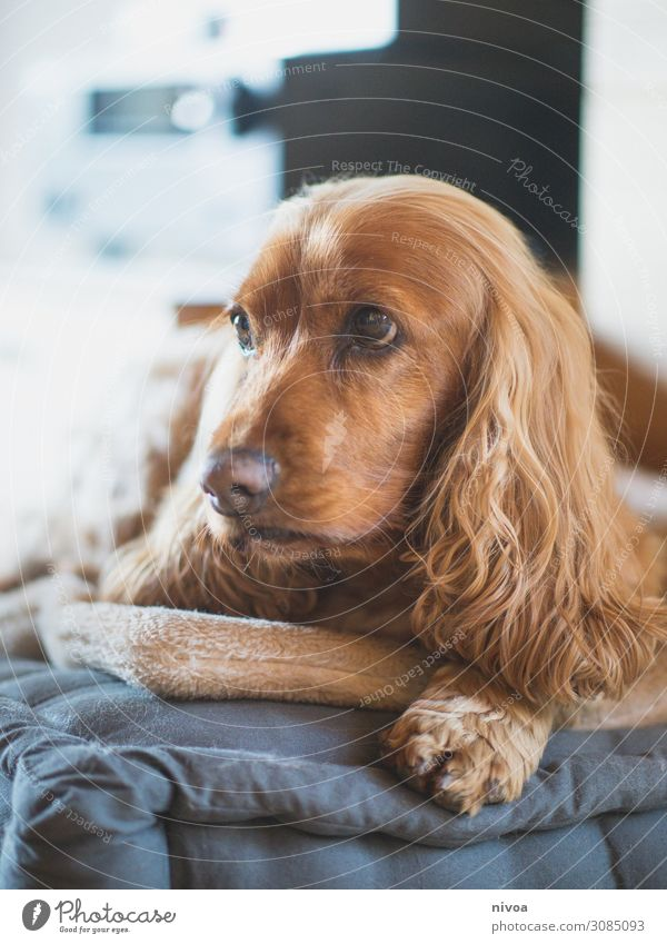 lying Cocker Spaniel Portrait Living or residing Flat (apartment) Living room Animal Pet Dog Animal face Pelt Claw Paw 1 Toys Cushion Puppydog eyes Observe