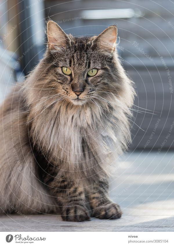 Norwegian Forest Cat Balcony Terrace Animal Pet Animal face Pelt Paw 1 Observe Discover Glittering Illuminate Sit Wait Brash Free Friendliness Beautiful