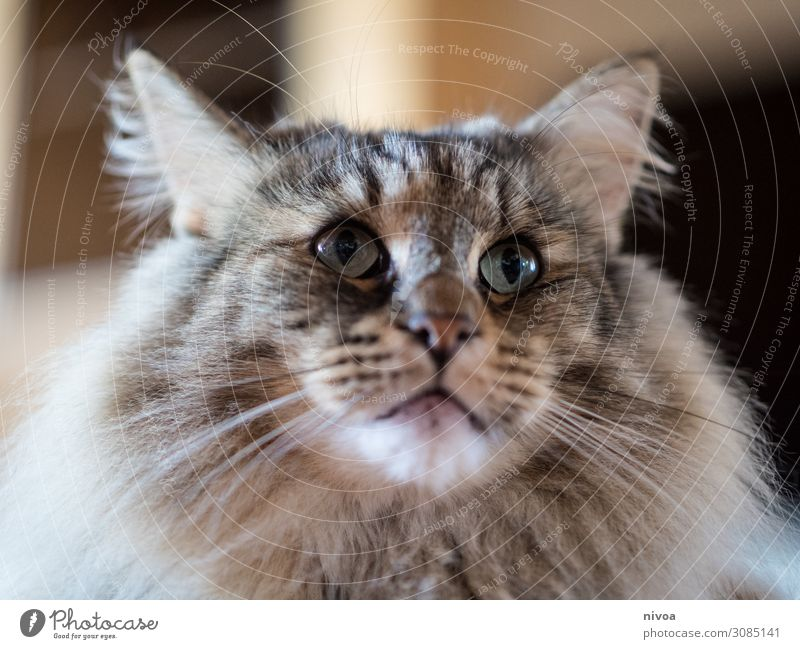 Norwegian Forest Cat Food Meat Fish Nutrition Allergy Life Contentment Hairdresser Animal Pet Animal face Pelt Claw Paw 1 Observe Touch Movement Discover