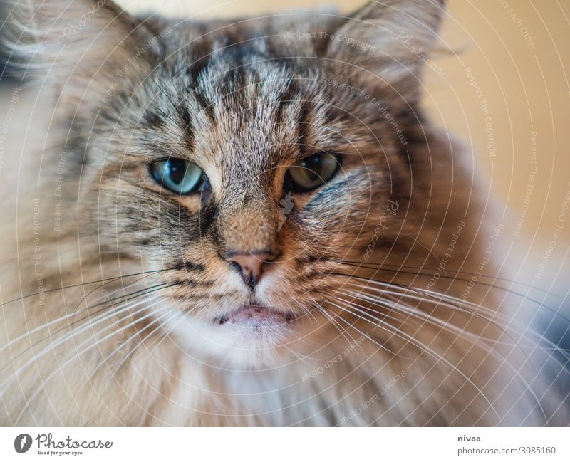 Norwegian Forestcat Cat Norwegian Forest Cat Colour photo Animal Pet 1 Animal portrait Animal face Looking Looking into the camera Interior shot Day Cute