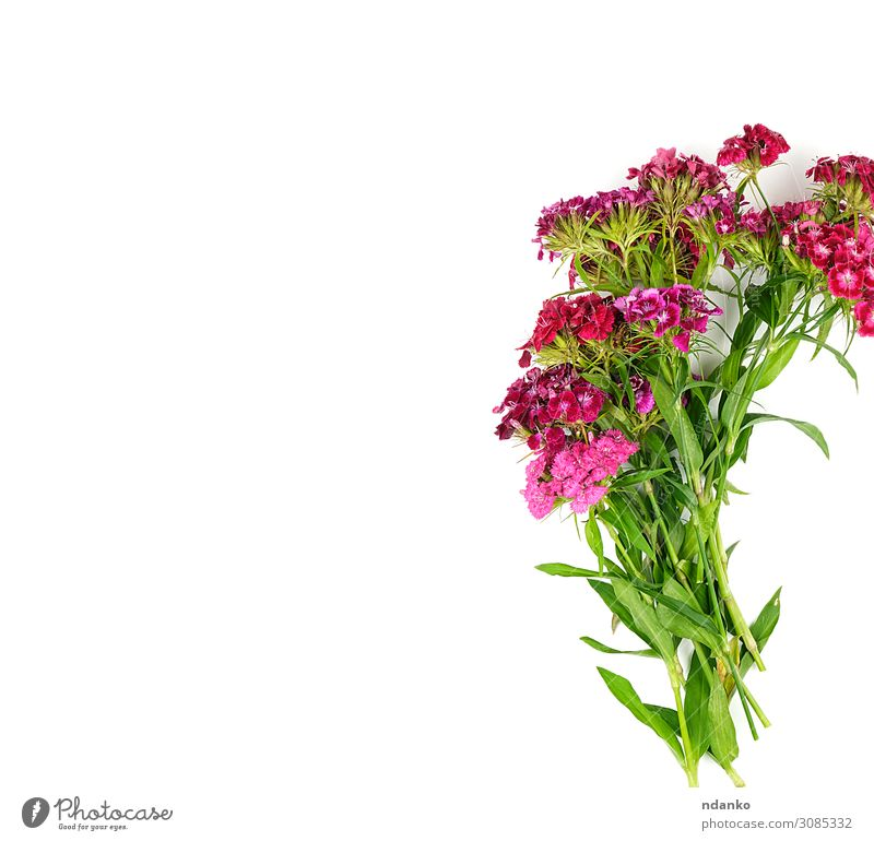Buds blooming Turkish carnations Dianthus barbatus Design Beautiful Summer Decoration Wedding Nature Plant Flower Leaf Blossom Fashion Bouquet Blossoming Fresh