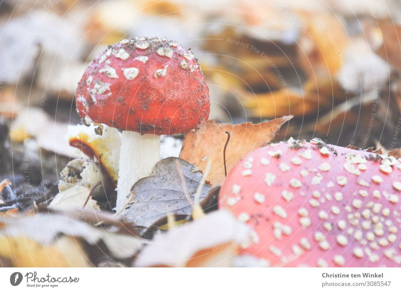 Two toadstools in dry autumn foliage Amanita mushroom Mushroom Autumn Autumn leaves Transience Environment Nature Poison Earth Small already natural Brown Red