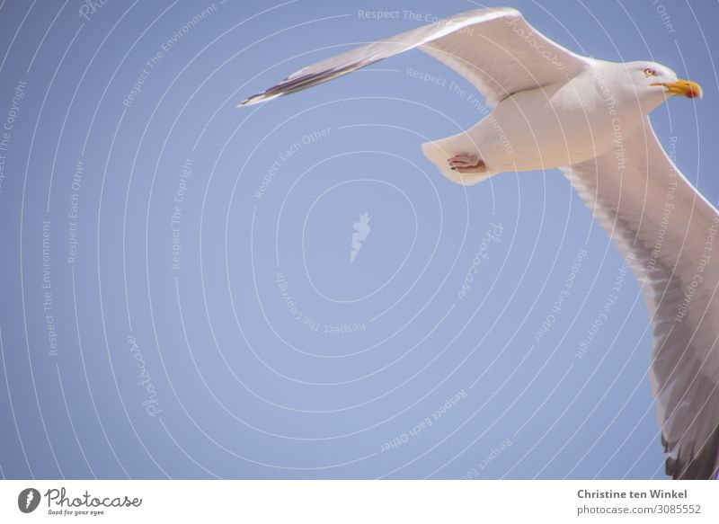flying herring gull in front of blue sky with much text space left. frog's-eye view Silvery gull Sky Animal Wild animal Bird Animal face Grand piano Seagull 1