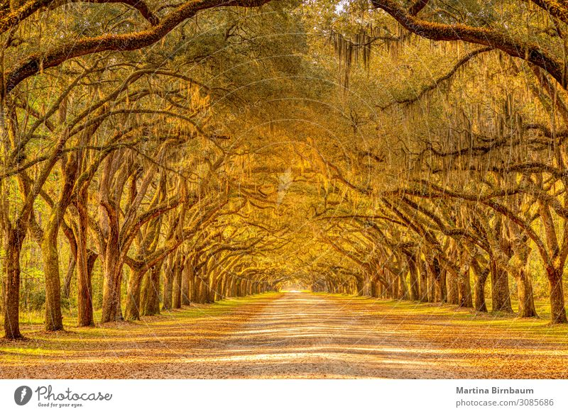 Old oak trees with spanish moss forming an alley Vacation & Travel Summer Nature Park Yellow landscape folio Orange green plantation wormsloe colorful autumn