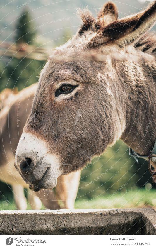 201809 Donkey Animal Farm animal Animal face Pelt Petting zoo Herd Drinking Allgäu christenings Germany alpine animals Colour photo Multicoloured Exterior shot
