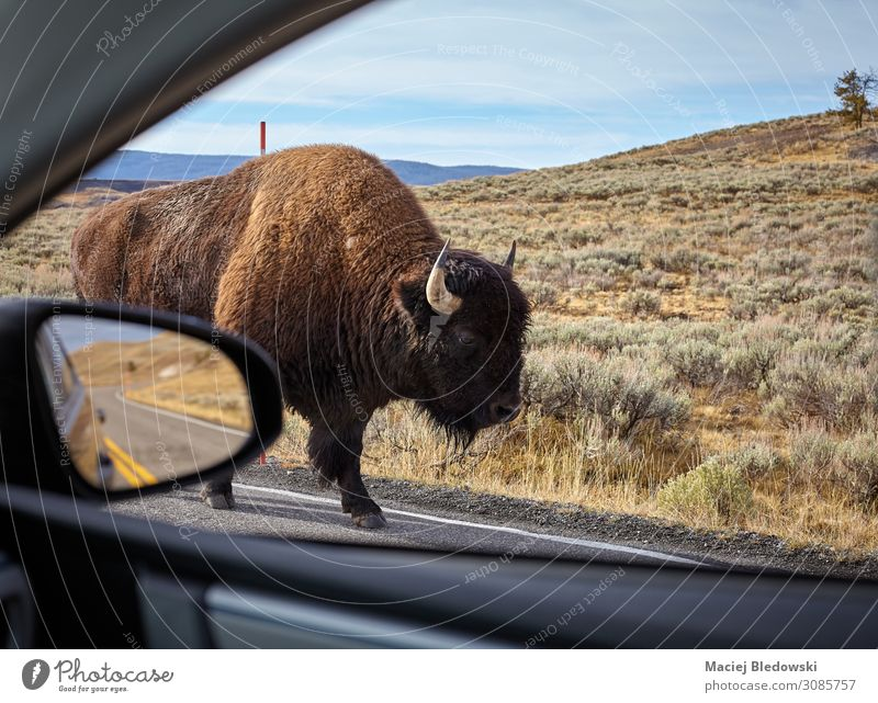 Encounter with an American bison on a road. Vacation & Travel Tourism Trip Adventure Safari Mirror Nature Animal Street Car Wild animal Fear Dangerous