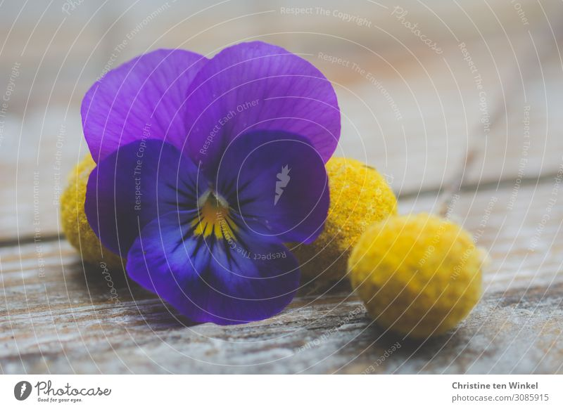purple pansy flower and yellow dried flowers / Craspedia globosa lying on wooden background Plant Flower Blossom Pansy blosssom craspedia Esthetic Exceptional
