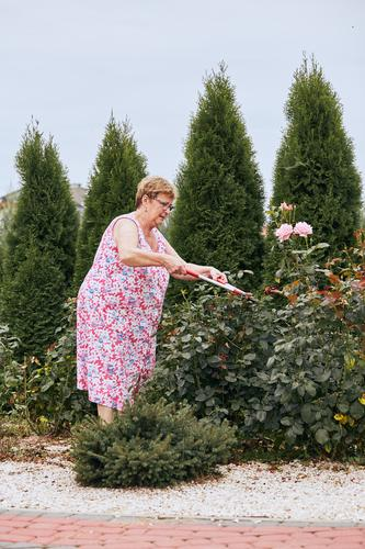 Mature woman working at a home garden trimming the rose flowers bush. Candid people, real moments, authentic situations Lifestyle Leisure and hobbies Summer