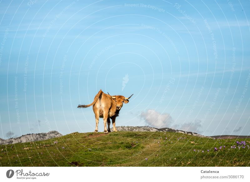 *1500* A little cow on the mountain pasture looks back and wags her tail Landscape Nature Animal Farm animal Cow mountains Horizon Sky Clouds Alpine pasture