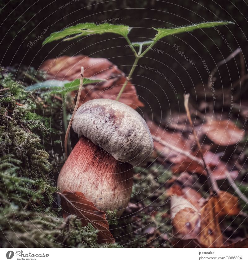 on the stalk Food Nature Elements Earth Forest Authentic Mushroom Witch Moss Plant Leaf Search Find Autumn Autumn leaves Colour photo Exterior shot Close-up