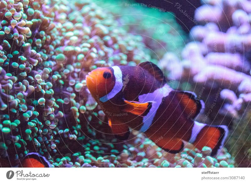 Orange and white clownfish anemonefish Nature Animal Coral reef Wild animal Fish 1 Green White Clown fish saltwater fish Amphiprion marine fish tropical fish