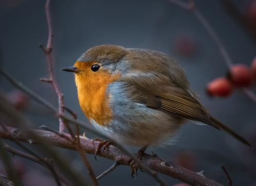 Redthroat in rose hip bush Nature Animal Sunlight Beautiful weather Bushes Dog rose Twigs and branches Wild animal Bird Animal face Wing Claw Robin redbreast