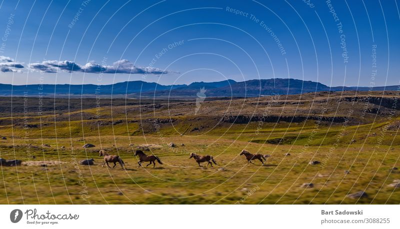 Wild Horses Running in grassy terrain Freedom Expedition Mountain Nature Landscape Animal Beautiful weather Meadow Hill Wild animal 4 Herd Movement Natural
